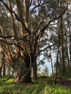 Exceptional eucalyptus in a grove