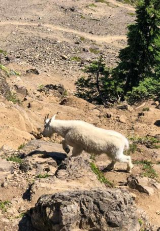 Mountain goat just below the summit