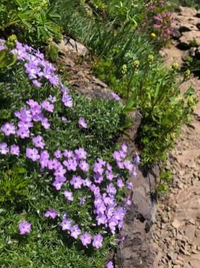 Wildflowers on Mt Ellinor 2
