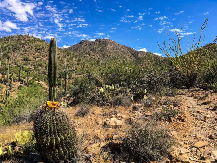Blooming Cactus near Wasson Peak