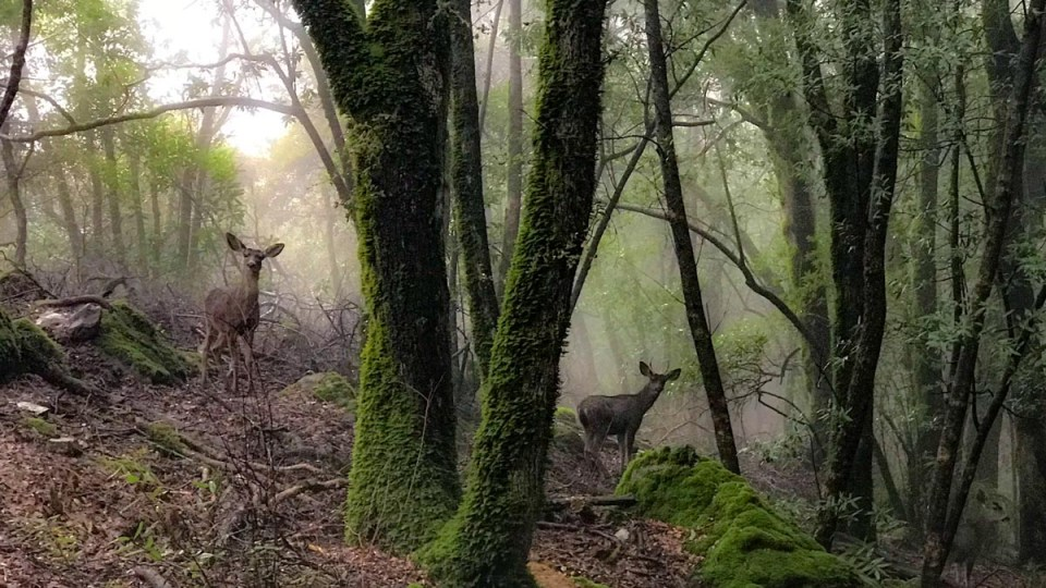 Deer in the woods on Mount Umunhum