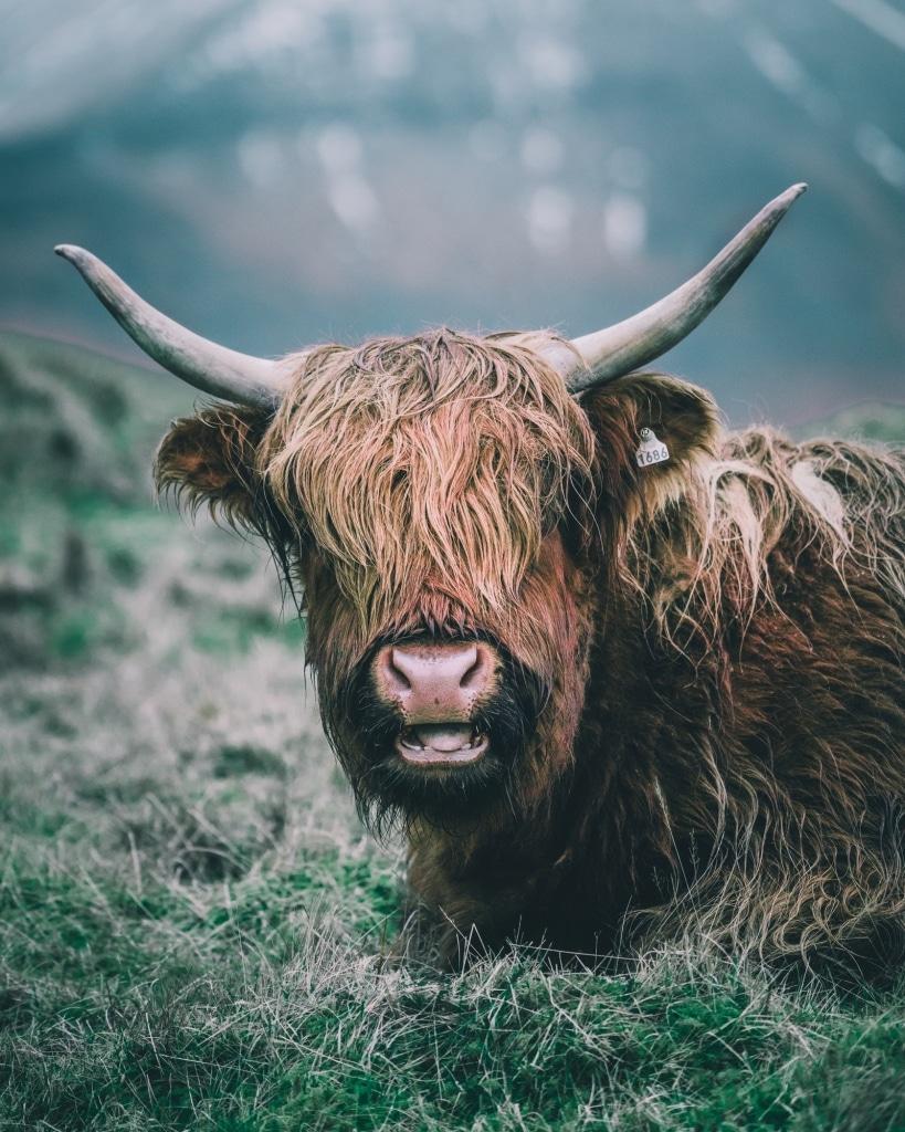 koe yak Faroer eilanden