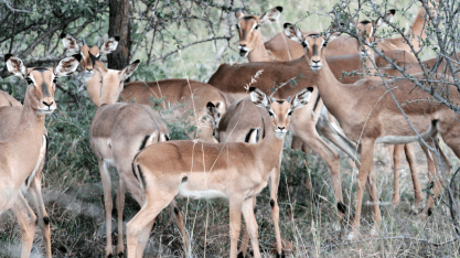 Group of Female Impala