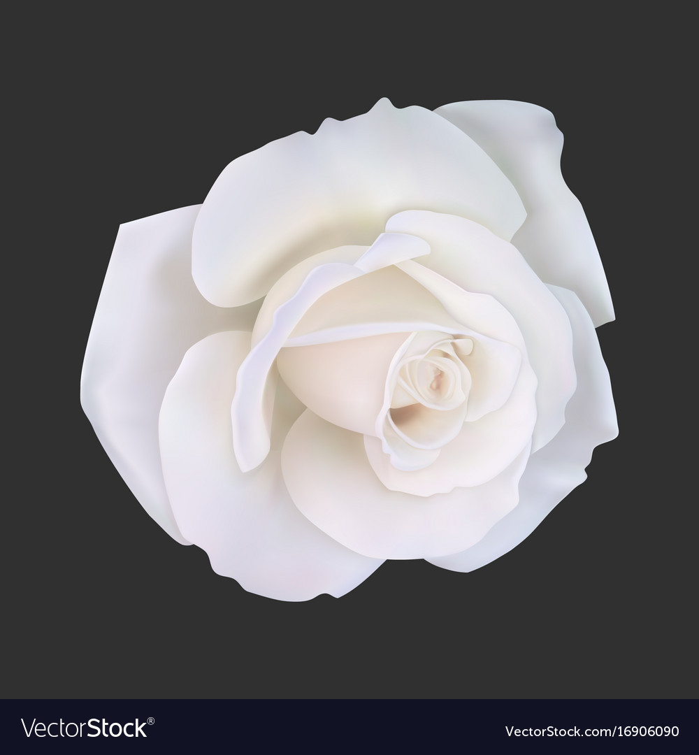Realistic White Rose Royalty Free Vector Image