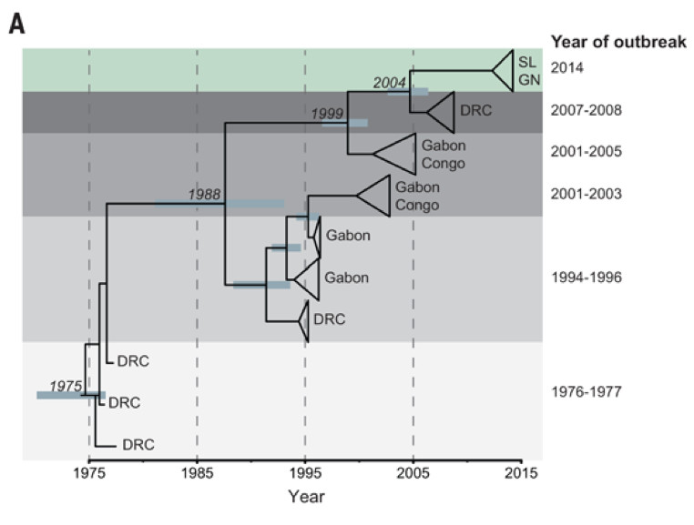 Ebola tree lineage