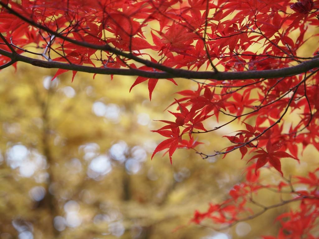 Free Printable Fall Leaf Templates Maple Leaves Patterns