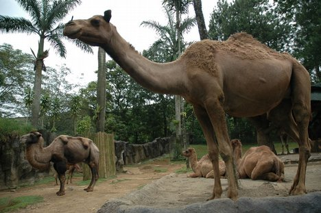 KLdy1 - Feb07 - camels - mammals - desert animals - wildlife - jkt07. (dy1)