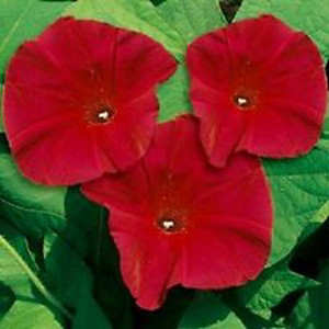 Scarlet O Hara Red Morning Glory Seeds 2bseeds