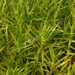 Pond Deals Buy Dwarf Bamboo Sulichium Arundinaceum Hardy Bog Plant Online