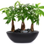 Chinese Money Plants A Care Guide