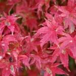 Acer Palmatum Tiny Leaf Japanese Maple Tree Kigi Nursery