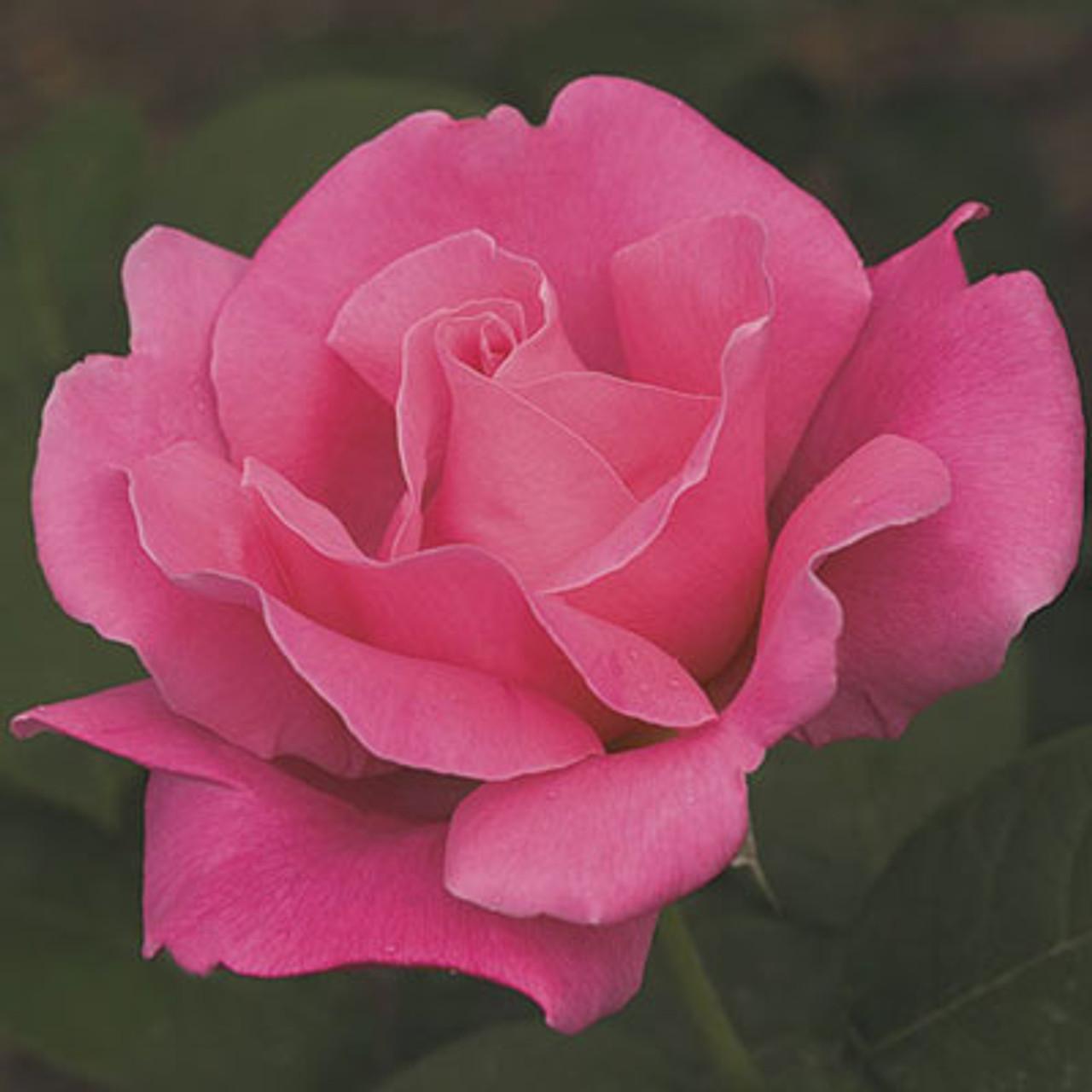 rose perfume delight weeks