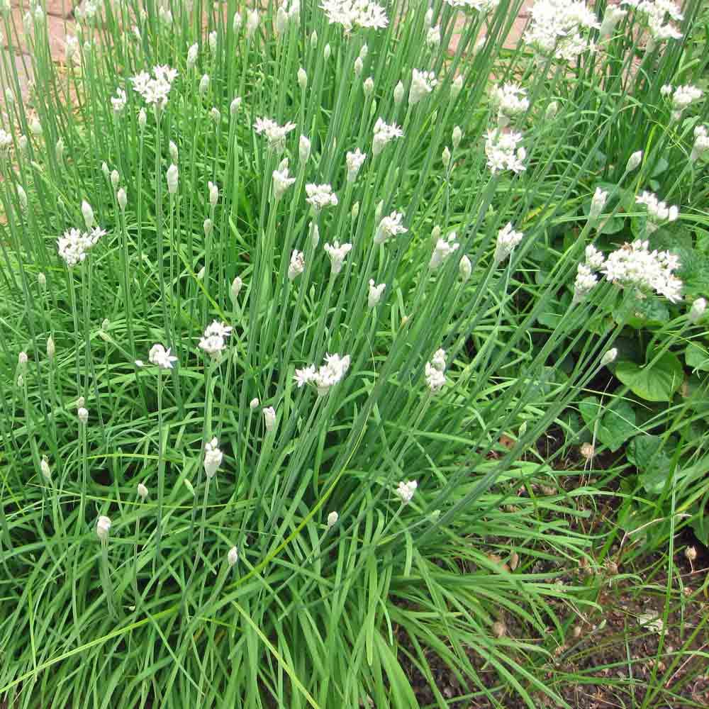 Garlic Chive Heirloom Seeds | Terroir Seeds