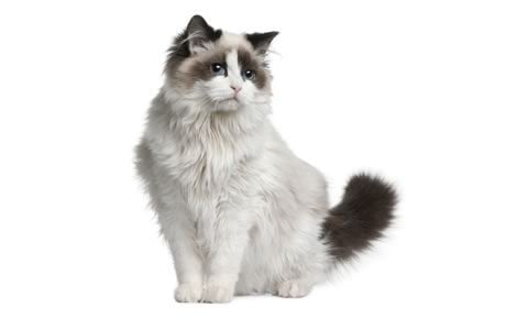 Image result for ragdoll cat