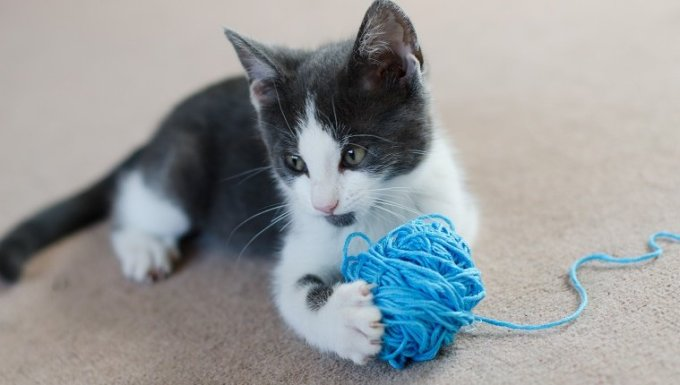 Grey and white kitten playing with ball a of wool with lose thread. Kitten lying on a carpet holding the small ball of blue wool between front paws, with claws extended. Focus on the kittens head and wool.