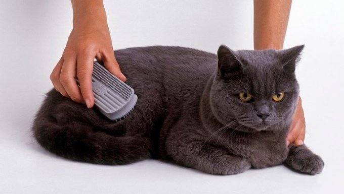 British Blue Shorthair Cat being brushed, close-up