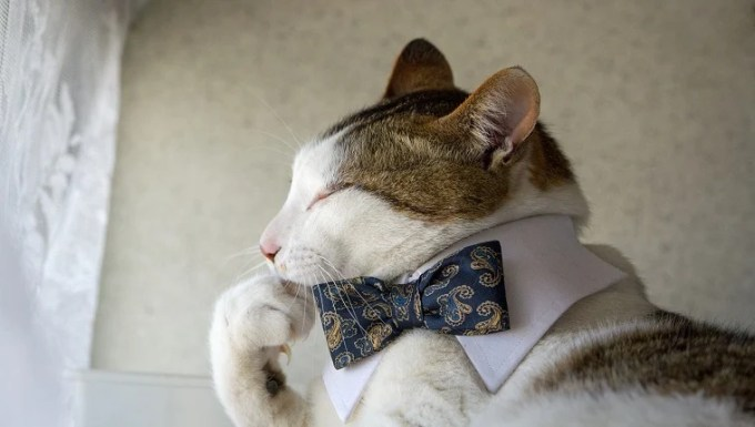 Cat with a bow tie on national answer your cat's questions day