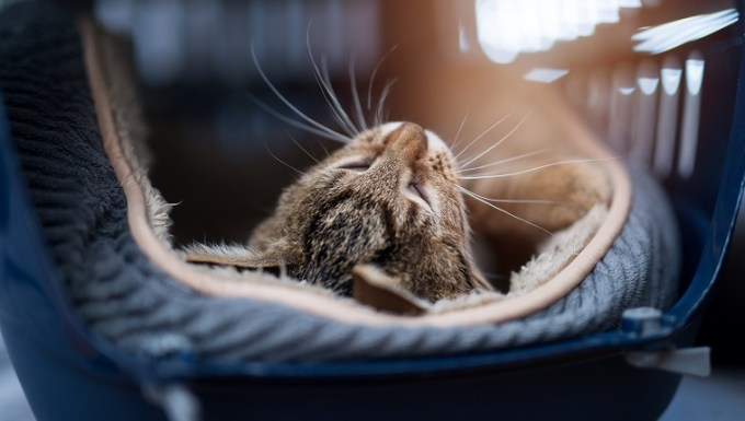 Young striped kitten laying in a carrier.