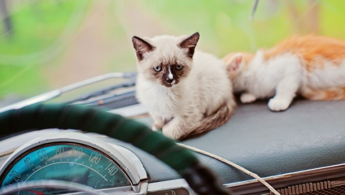 Two kittens on dashboard of retro car, Novosibirsk, Russia