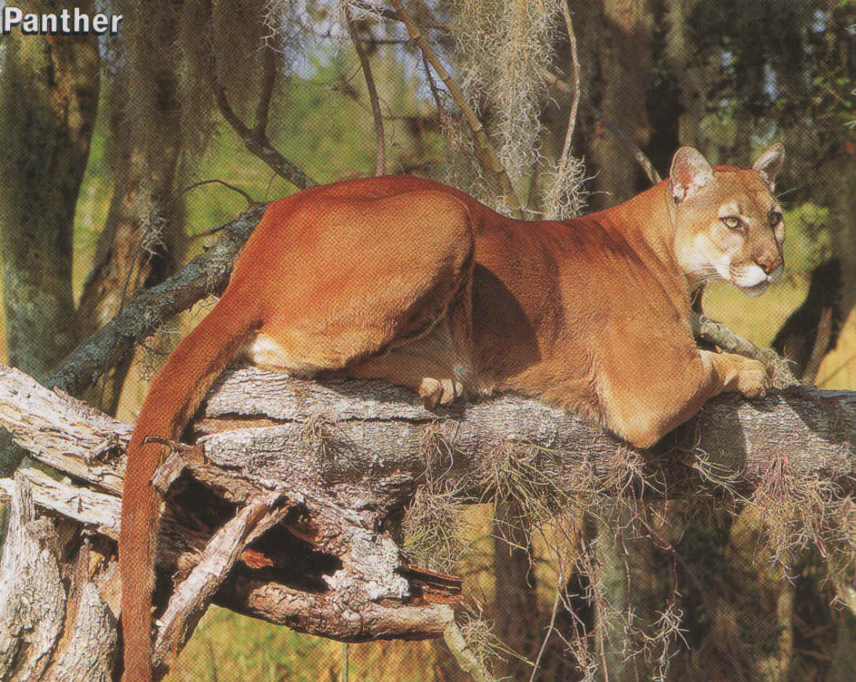 Panthers Found Georgia
