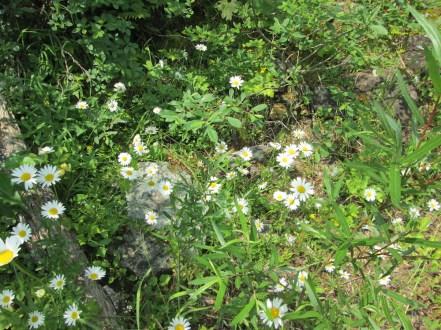 Daisies along the lakeside