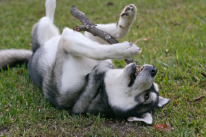 Siberian Husky Playing Fetch