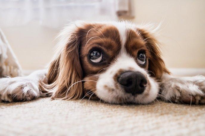 eliminar pelos de perro del sillon