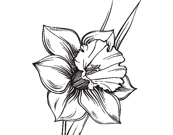 narcissus flower coloring page coloringcrew com