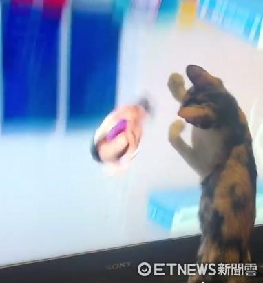 最佳觀眾!萌貓緊盯世大運跳水 選手牠跟著「滿分落地」(圖/李姓網友提供)