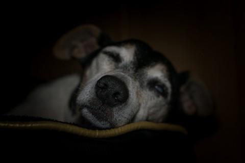Los tutores de los animales de compañía deben estar atentos a las primeras señales de vejez en los perros. Foto: Pixabay