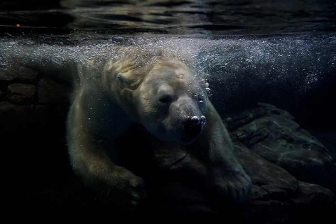 Declaran emergencia en Rusia por invasión de osos polares