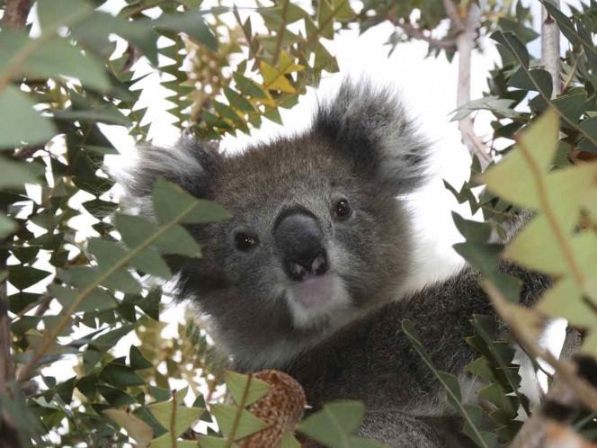 Fotografía de koala 'seductor' se viraliza en las redes