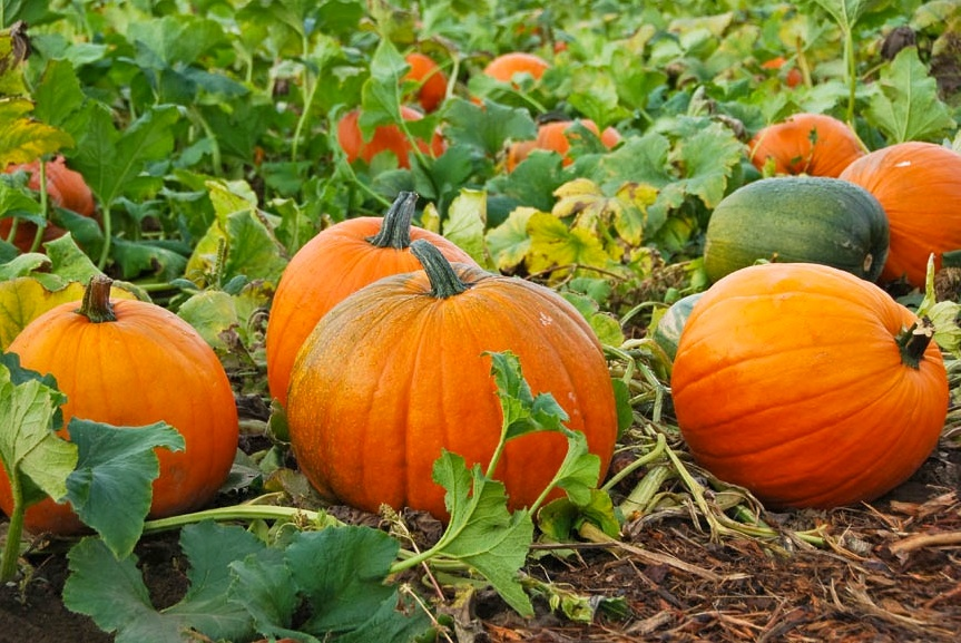 Pumpkin-Patch-.jpg