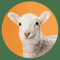Sheep-office-pet.png