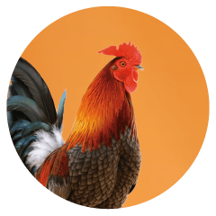 chicken-office-pet.png