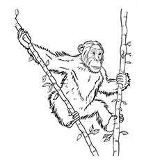 10 free printable lovely chimpanzee coloring pages online