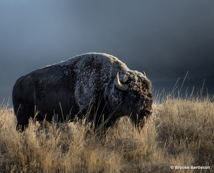 Image of a bison covered in frost.