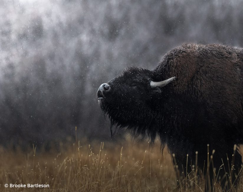 Image of a bison sniffing the air.