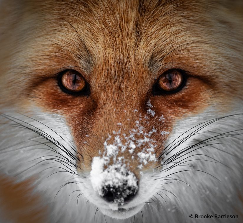 Close up image of a red fox.