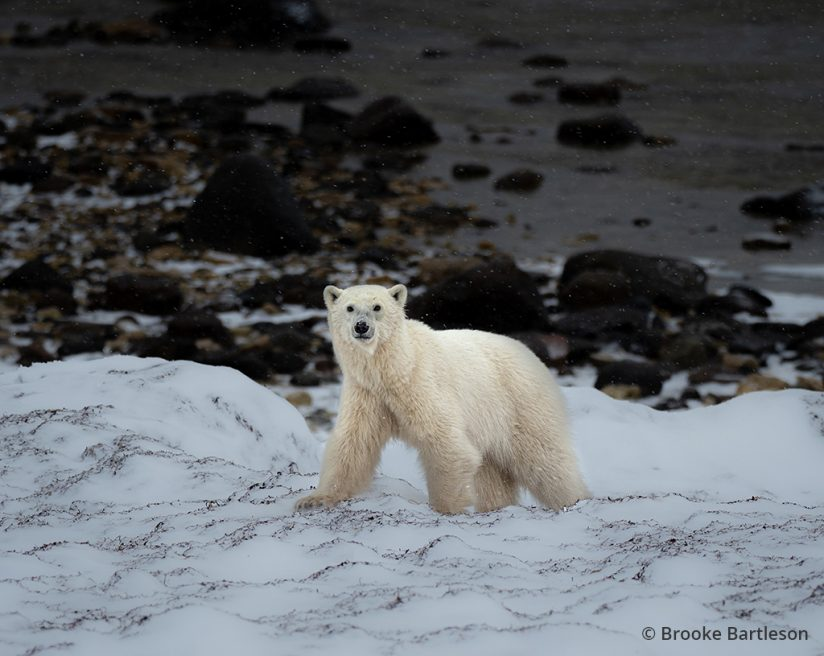 Image of a polar bear.