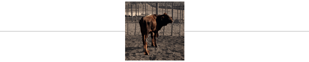 separation-cow