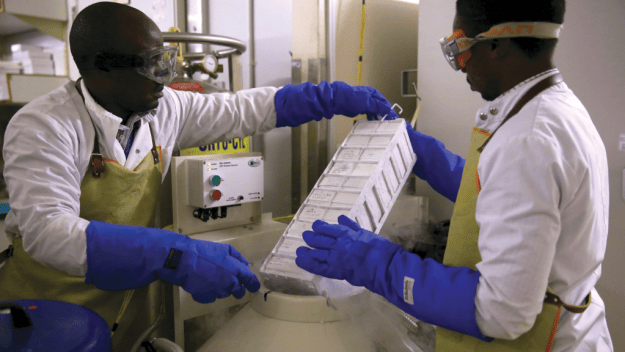 BHP lab technicians store cell samples in liquid nitrogen tanks at -140°C. Photo by Dominic Chavez