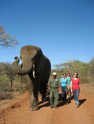 Elephant and students walking in the Mokolodi Game Reserve, Botswana