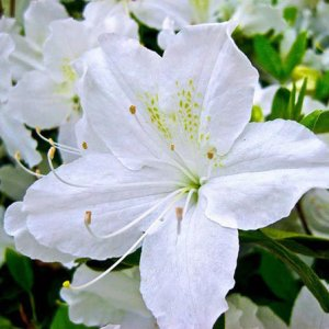 Top 25 Most Beautiful White Flowers White Lily