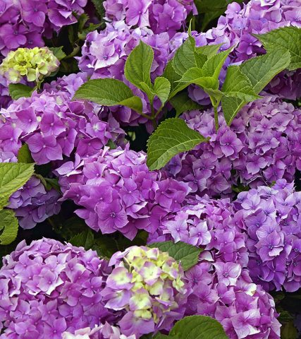 Top 15 Most Beautiful Hydrangea Flowers Top 15 Most Beautiful Hydrangea Flowers