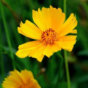 Top 15 Most Beautiful Aster Flowers Bright Yellow Aster Pinit