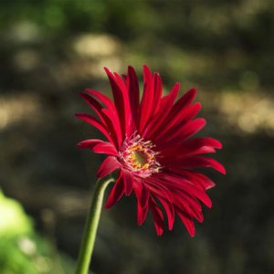 Top 15 Most Beautiful Aster Flowers Red Aster Pinit