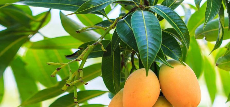 Image result for Mango leaves