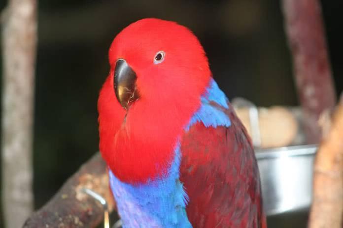 electus parakeet