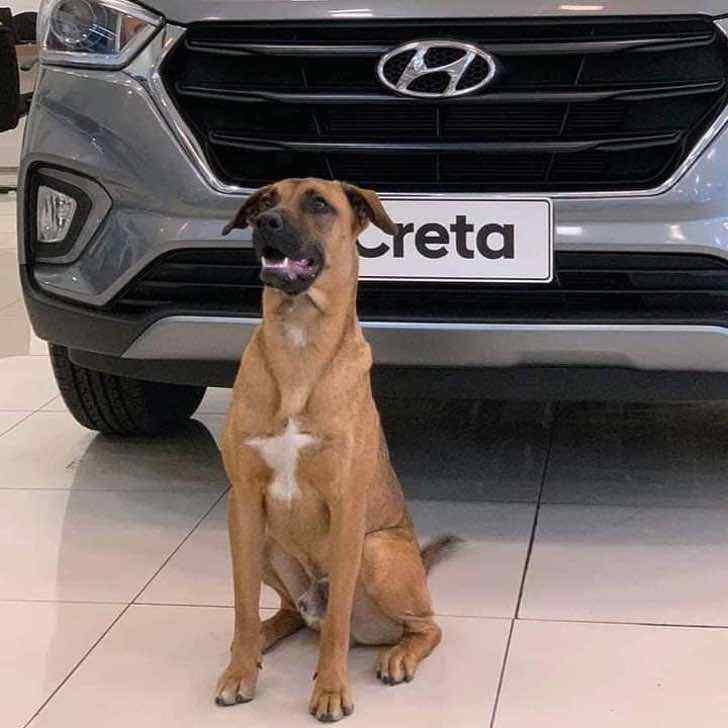 perrito es adoptado por una empresa automotriz en brasil0002 - Concessionária de carros contrata cachorrinho que vagava pela região. Agora ele é o novo vigilante do lugar